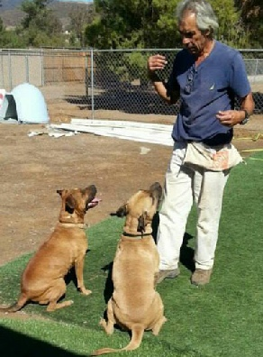 Joe Ramirez, co-founder of Dog Gone Tired Sanctuary and Rescue, in a training session with Reese and Nova, two boxers available for adoption.